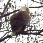 The bald eagle, perched near Cedar Dell.