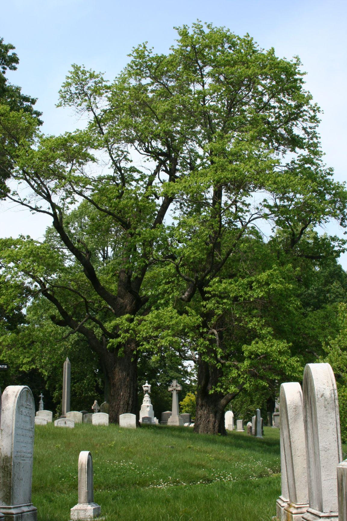 Green-Wood's Great Trees   Green-Wood