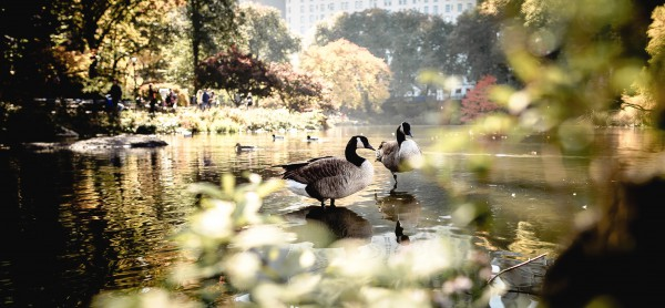 Christopher also had a great affection for birds--here Canada geese, but also pigeons.
